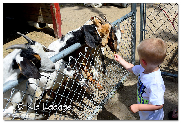 Logan Feeding Goat at Sunrise Petting Zoo - Image DSC_4266 (© Kip Ladage)