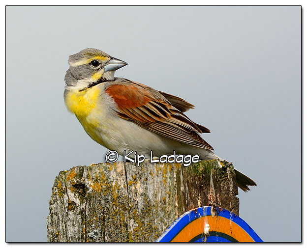 Male Dickcissel on Sign - Image 509991 (© Kip Ladage)