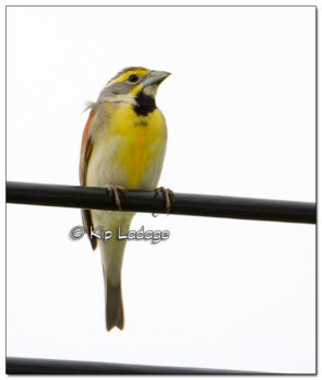 Male Dickcissel on Power Line - Image 508295 (© Kip Ladage)