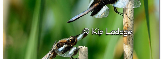 Male Widow Skimmer Dragonfly and Twelve-spotted Skimmer Dragonfly at Sweet Marsh - Image 509836 (© Kip Ladage)