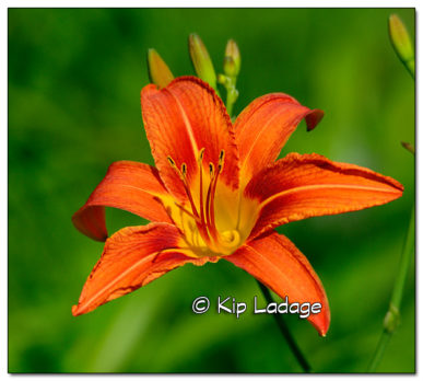 Orange Day Lily - Image 509052 (© Kip Ladage)
