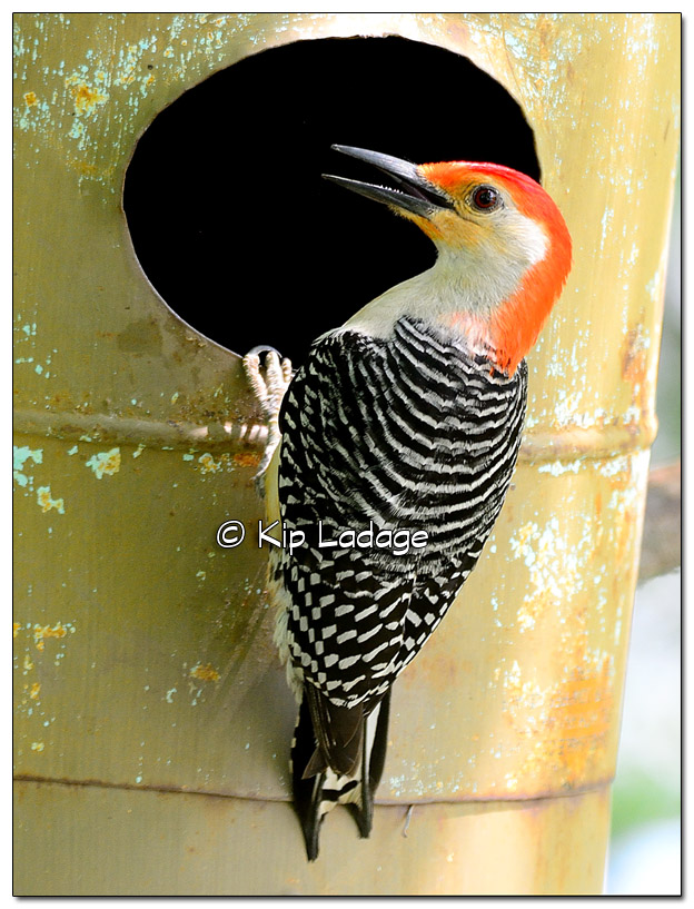 Red-bellied Woodpecker on Metal Duck Box - Image 507925 (© Kip Ladage)