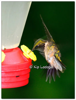 Ruby-throated Hummingbird at Feeder - Image 509056 (© Kip Ladage)