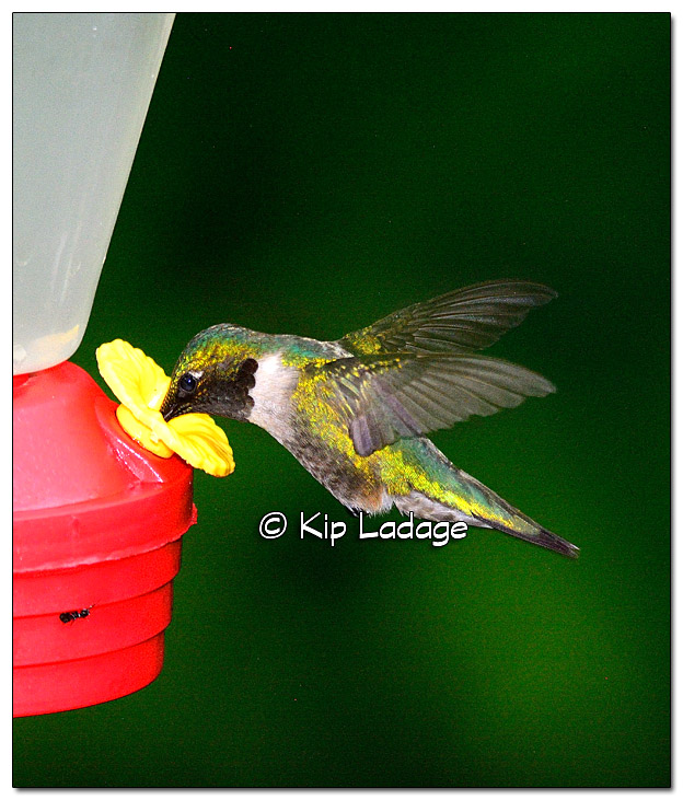 Ruby-throated Hummingbird at Feeder - Image 509069 (© Kip Ladage)