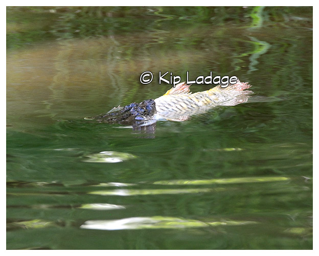 Snapping Turtle With Large Fish On Wapsipinicon River - Image 508527 (© Kip Ladage)