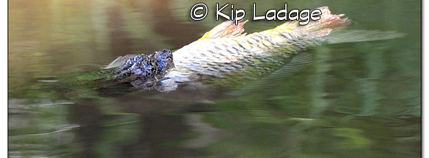 Snapping Turtle With Large Fish On Wapsipinicon River - Image 508541 (© Kip Ladage)