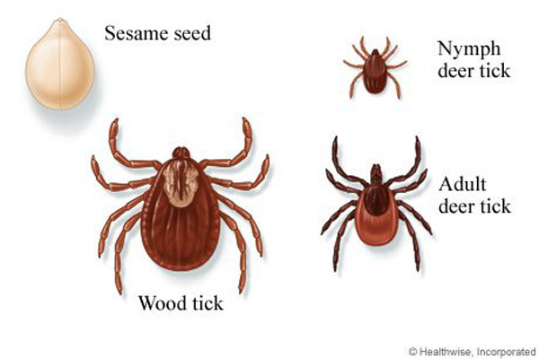 deer and wood tick sizes