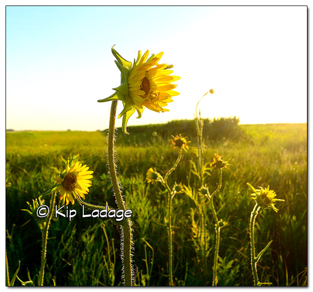 Compass Plants at Sunset - Image 511112 (© Kip Ladage)