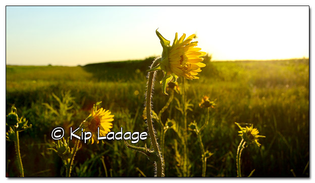 Compass Plants at Sunset - Image 511118 (© Kip Ladage)