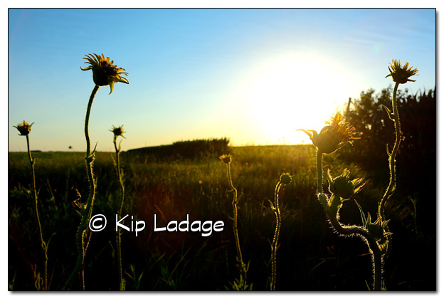 Compass Plants at Sunset - Image 511139 (© Kip Ladage)
