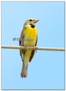 Dickcissel on Power Line - Image 511159 (© Kip Ladage)