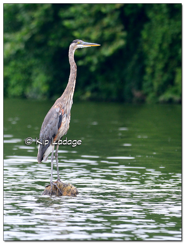 Family Reunion 2018 - Great Blue Heron