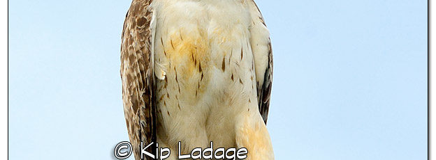 Red-tailed Hawk on Pole - Image 512488 (© Kip Ladage)