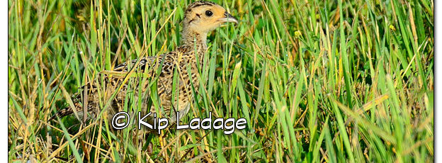 Ring-necked Pheasant Along Road - Image 512459 (© Kip Ladage)