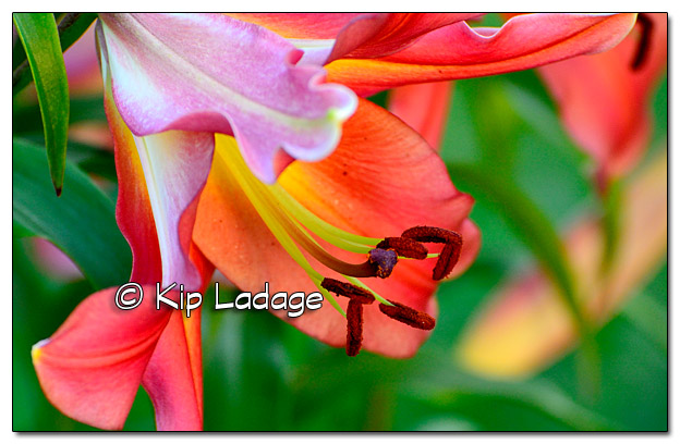 Ruby's Lily - Image 512226 (© Kip Ladage)