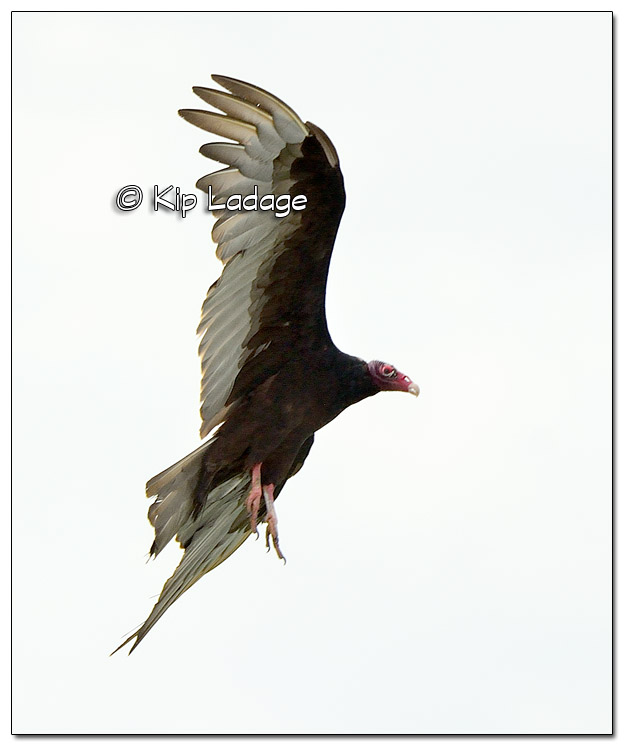 Turkey Vulture - Image 511091 (© Kip Ladage)
