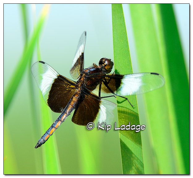 Widow Skimmer Dragonfly at Sweet Marsh - Image 511417 (© Kip Ladage)