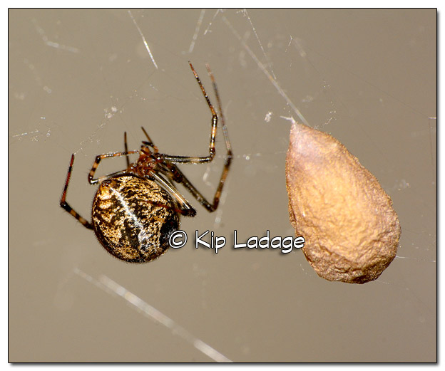Adult Spider with Egg Sac - Image 519211 (© Kip Ladage)