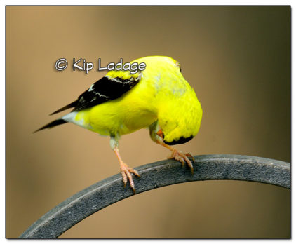 American Goldfinch - Image 515939 (© Kip Ladage)
