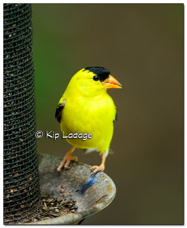 American Goldfinch - Image 515942 (© Kip Ladage)