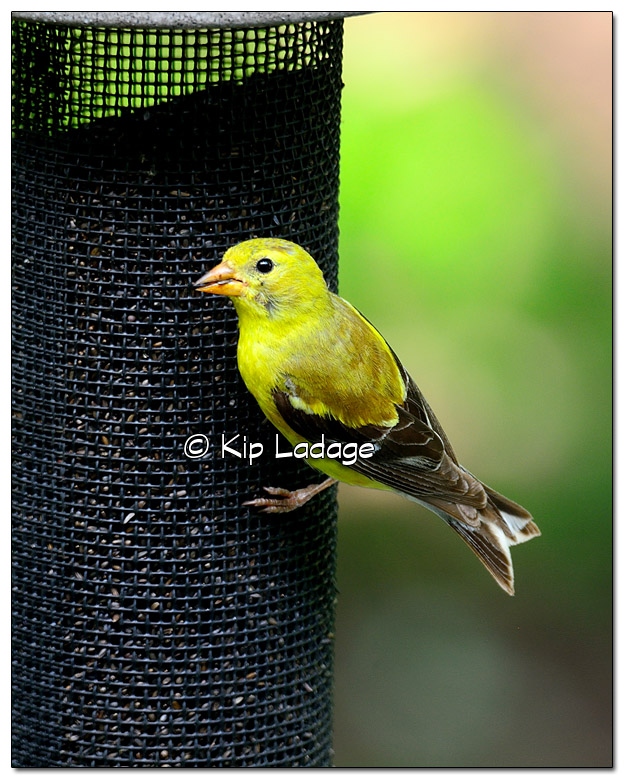 American Goldfinch - Image 515972 (© Kip Ladage)