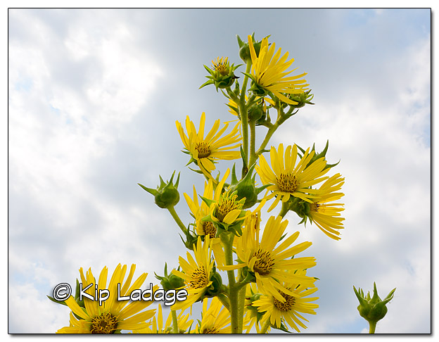 Compass Plant Against Sky - Image 516142 (© Kip Ladage)