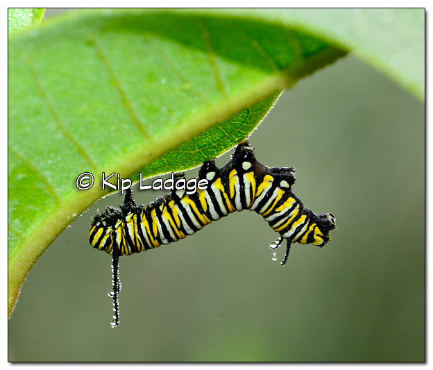Dew-covered Monarch Butterfly Caterpillar- Image 516427 (© Kip Ladage)