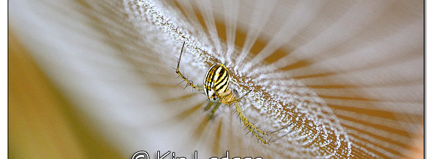 Dew-covered Spider Web With Spider - Image 516503 (© Kip Ladage)
