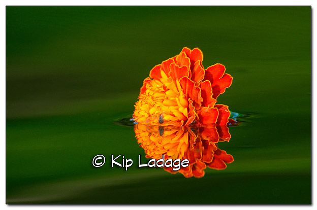 Marigold Blossom on The Wapsipinicon River - Image 516550 (© Kip Ladage)