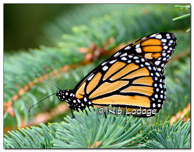 Monarch Butterfly in Conifer - Image 520701 (© Kip Ladage)