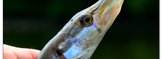 Northern Pike that Jumped into my Kayak - Image 516826 (© Kip Ladage)
