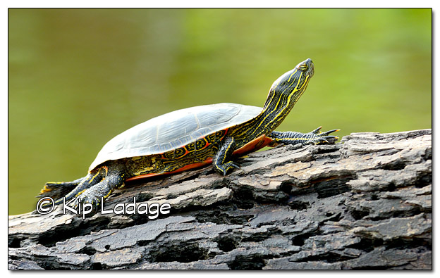 Painted Turtle on Log - Image 516579 (© Kip Ladage)