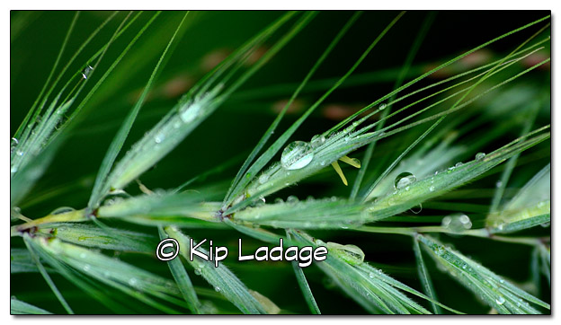 Raindrops on Grass - Image 515783 (© Kip Ladage)