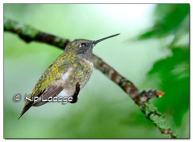 Ruby-throated Hummingbird in Rain - Image 520738 (© Kip Ladage)