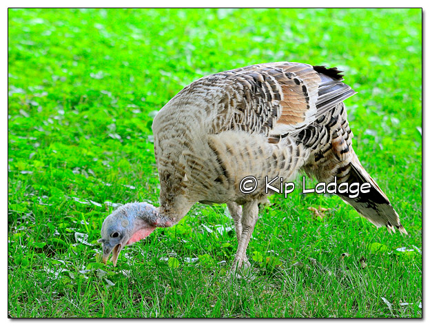 Turkey in Our Yard  - Image 516091 (© Kip Ladage)