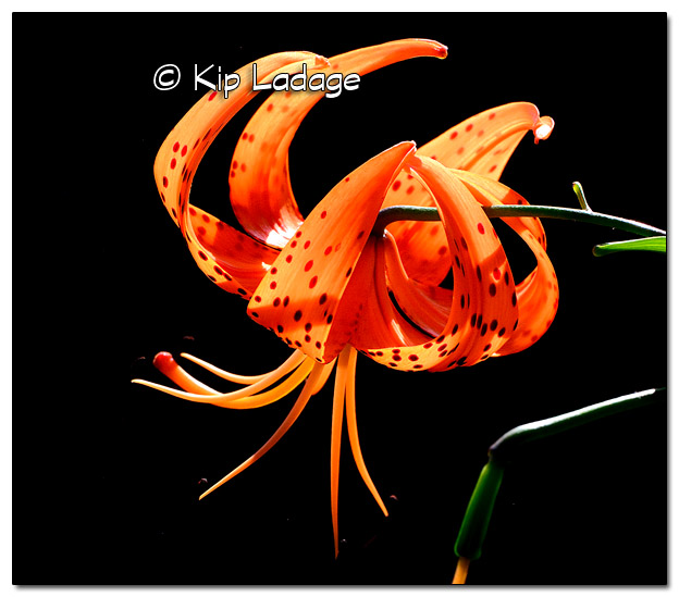 Turk's Cap Lily Against Dark Background - Image 515612 (© Kip Ladage)