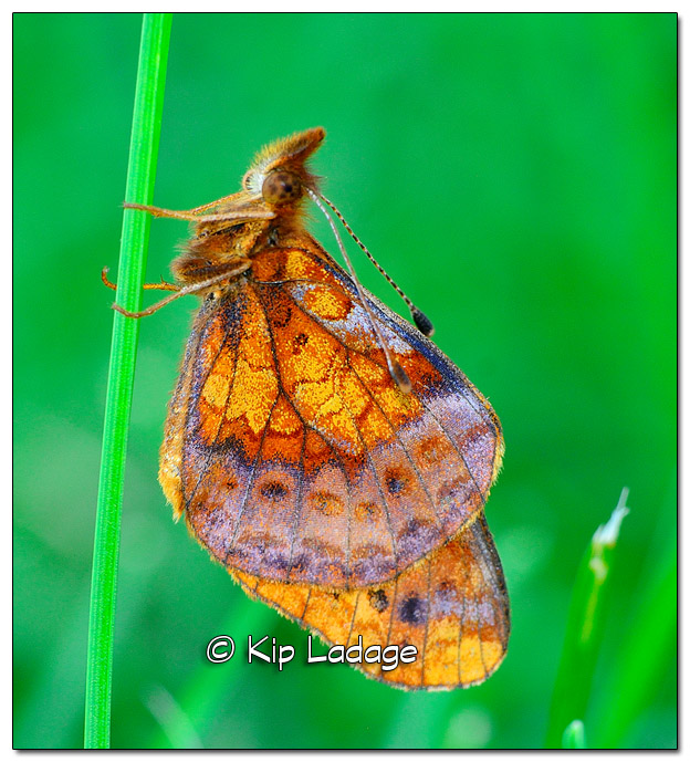 Unknown Butterfly Species - Image 521111 (© Kip Ladage)