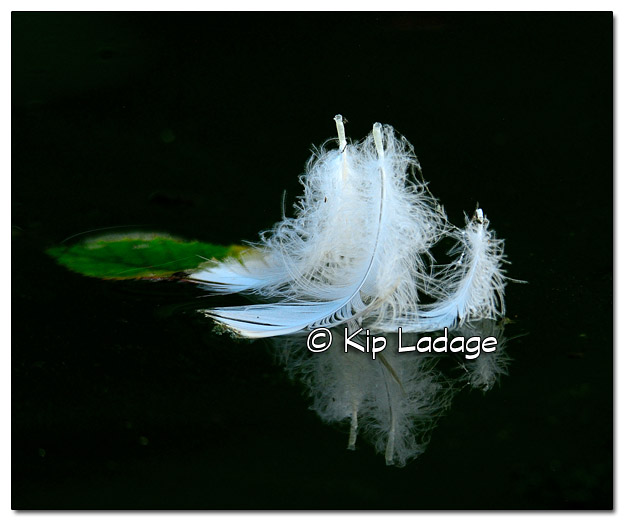 White Feathers Floating on the Wapsipinicon River - Image 519147 (© Kip Ladage)