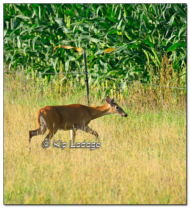 Whitetail Deer Avoiding Electric Fence - Image 519047 (© Kip Ladage)