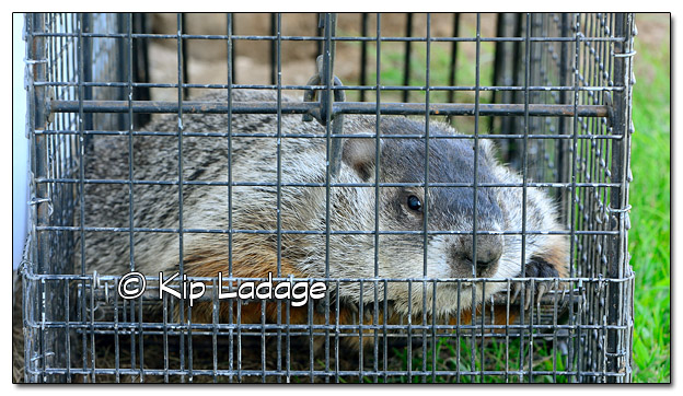 Woodchuck in Trap - Image 521130 (© Kip Ladage)