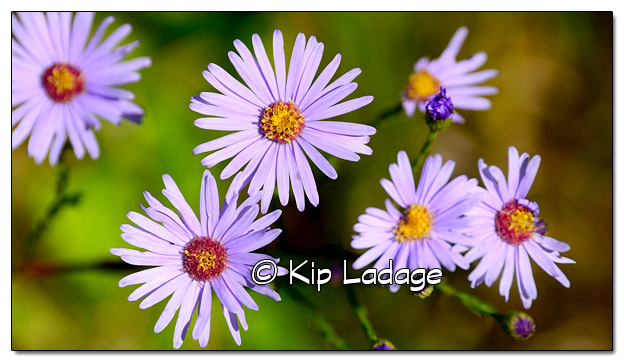 Asters at the Rowley Fen - Image 522584 (© Kip Ladage)
