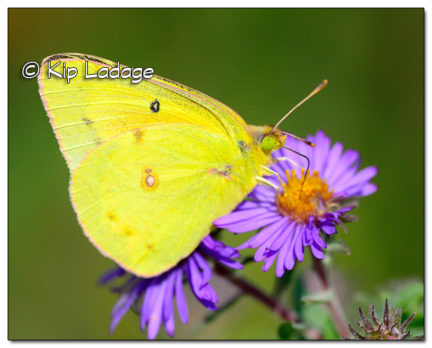 Clouded Sulpher Butterfly - Image 523667 (© Kip Ladage)