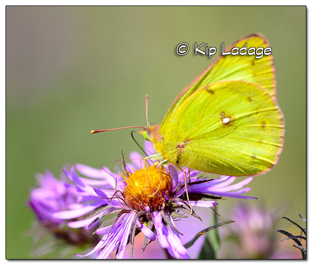 Clouded Sulpher Butterfly - Image 523669 (© Kip Ladage)