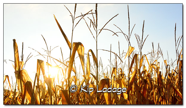 Cornfield at Sunrise - Image 524835 (© Kip Ladage)