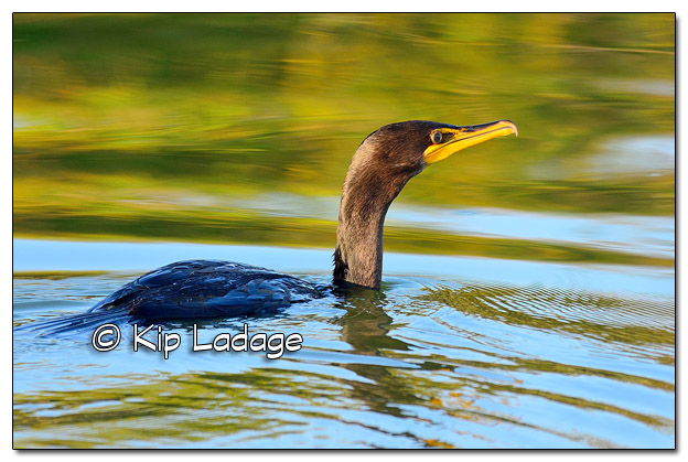 Double-crested Cormorant on Volga Lake - Image 523742 (© Kip Ladage)