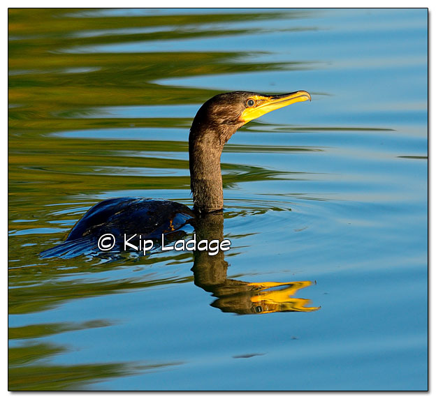 Double-crested Cormorant on Volga Lake - Image 523749 (© Kip Ladage)