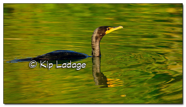 Double-crested Cormorant on Volga Lake - Image 523757 (© Kip Ladage)