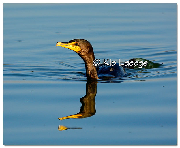 Double-crested Cormorant on Volga Lake - Image 523769 (© Kip Ladage)