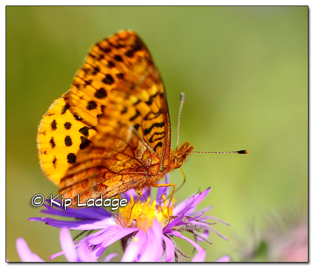 Fritillary Butterfly - Image 523670 (© Kip Ladage)