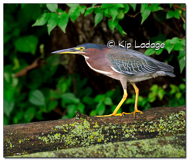 Green Heron at Casey Lake - Image 522166 (© Kip Ladage)